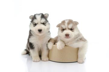 Cute puppy siberian husky  in dog bowl