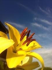 Lilie mit Fliegen