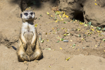 Meerkat (Suricata suricatta) in South Africa