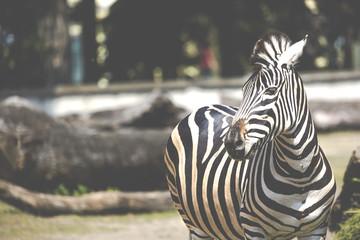 Portrait of Zebra on Serengeti Tanzania Africa