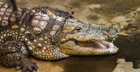 A closeup photo of a crocodile
