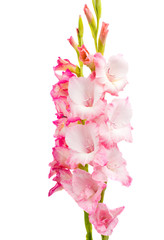 pink gladiolus isolated