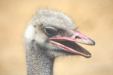 Ostrich head closeup