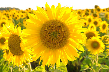 large flowering sunflower on a field close up.