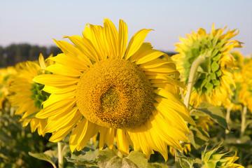 sunflower in a field close-up