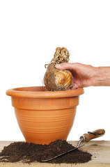 Planting bulb