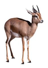 Dorcas gazelle.