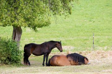 zwei Pferde auf der Weide
