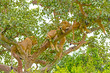 Young Lions Resting in a Tree
