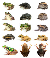 collection animal Frog  isolated on white background