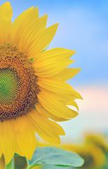 details of sunflower