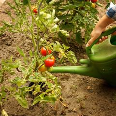 Tomaten gießen - Gartenarbeit