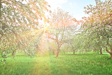 Beautiful blooming apple trees in the morning