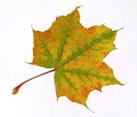Ahornblatt im Herbst Freisteller