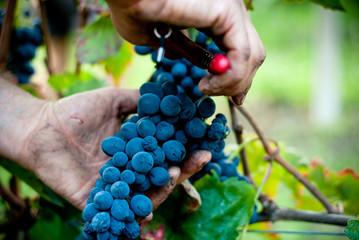 Taglio del grappolo d'uva