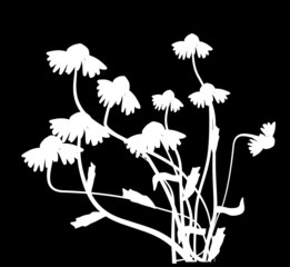 white chamomile flowers illustration on black