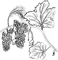 grey grape in leaves sketch on white