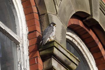 Peregrine, Falco peregrinus