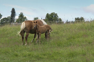 bay mare with colt