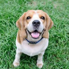 Cute beagle puppy in garden