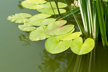 leaves of water lilies on the pond