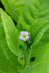 tobacco flower with green leafs