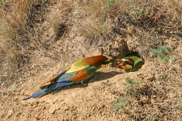 Bee-eater next to its nest