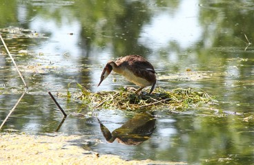 Eared grebe in its nest in the water