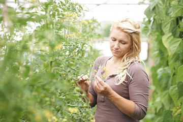 Farm Worker In Greenhouse Checking Tomato Plants