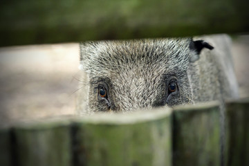 Wild boar looking through the fence
