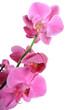 canvas print picture - Orchidée violet