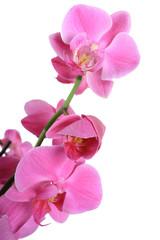 Orchidée violet