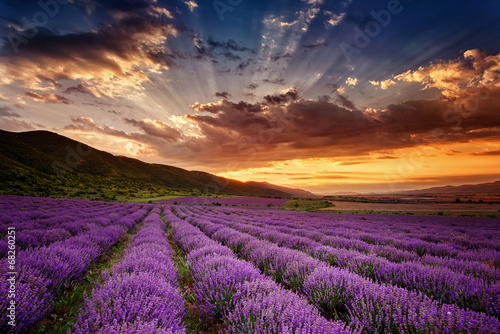 Stunning landscape with lavender field at sunrise canvas