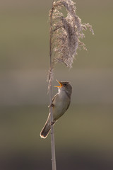 Great reed warbler mating