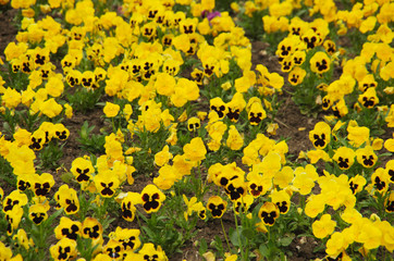 Violas or Pansies Closeup in a Garden