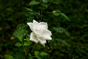 Romantic fresh young Bud tender white rose
