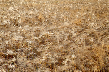 golden barley field in the wind