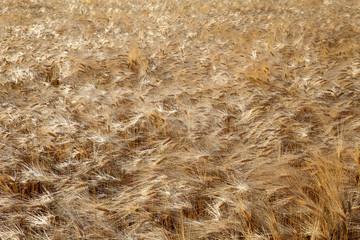 golden barley field in the wind