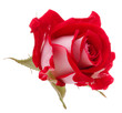 Red rose flower head isolated on white background cutout