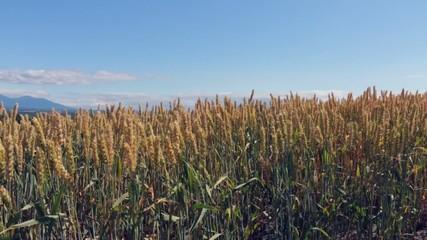 就実の丘:風に揺れる麦の穂