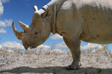 Rhinocerous in Profile View