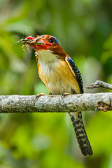 Portriat of Male Banded Kingfisher with grasshopper in his moun