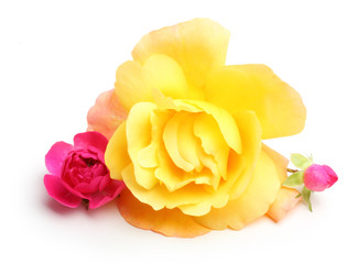 Yellow and pink rose flowers
