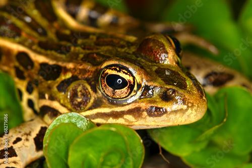 Tuinposter Luipaard Northern Leopard Frog (Rana pipiens)