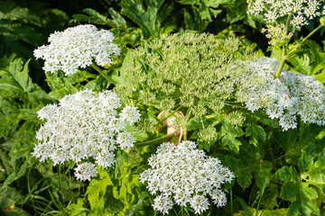 Flowering giant hogweed from close
