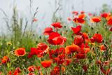 Fragile poppy flowers in backlit