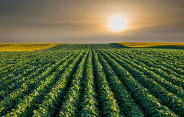 Soybean Field