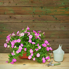 Pink petunia flowers in flowerpot on wooden background.