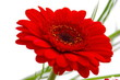 canvas print picture - rote Gerbera