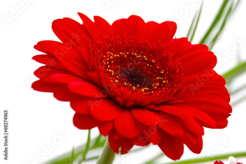 canvas print picture rote Gerbera
